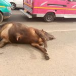8 mystery cows found dead on the street of Accra